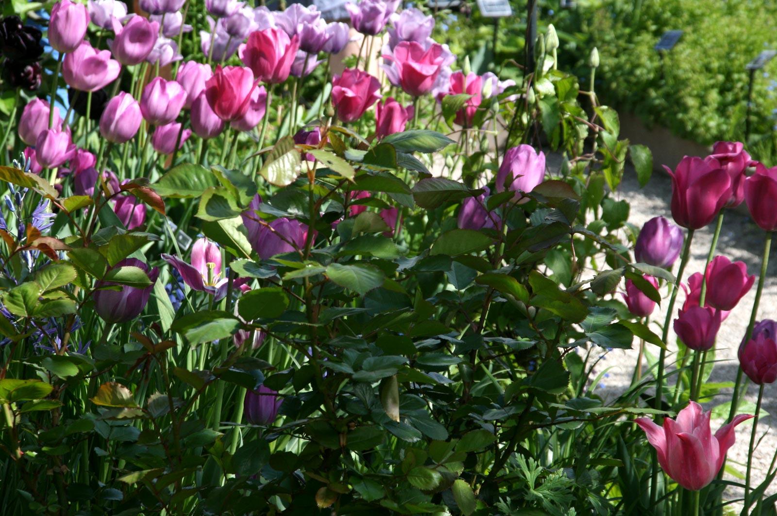 Tulipes dans le Jardin des 5 Sens à Yvoire.