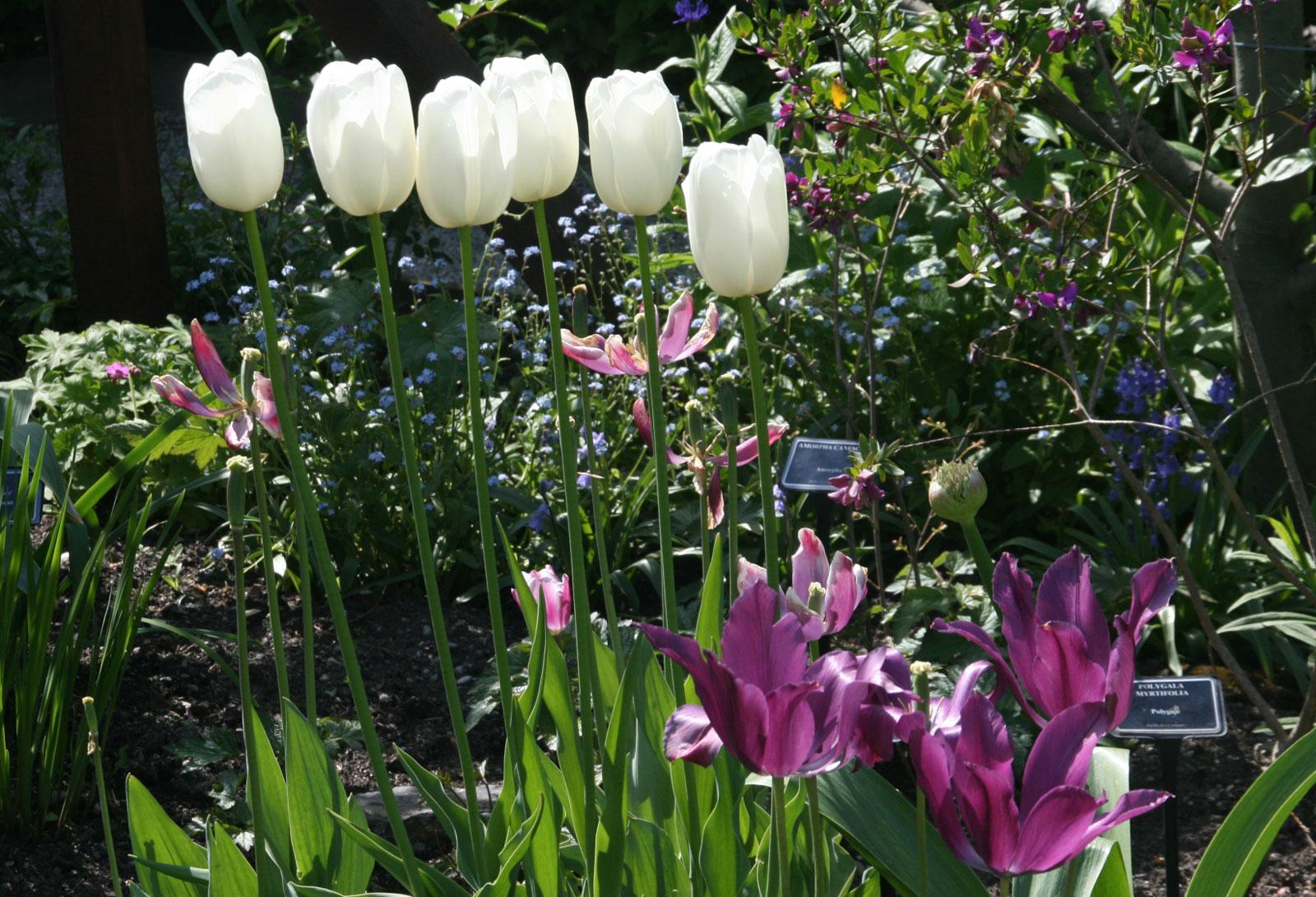 Jardin des Cinq Sens à Yvoire : les tulipes.